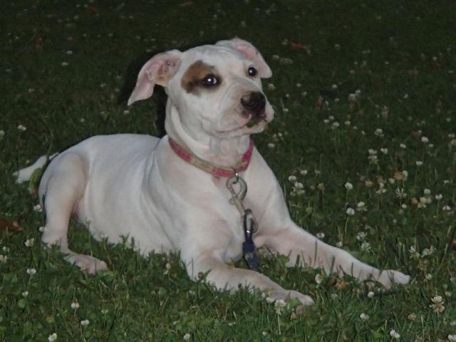 Bulldog - Stuff For Sale in Quakertown, PA - Claz.org