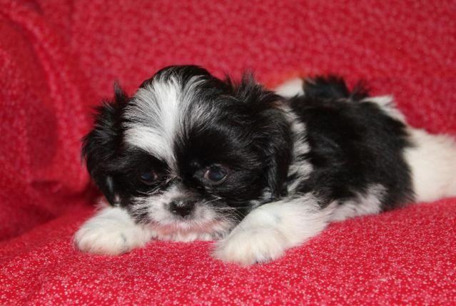 Sweet And Small Black N White Shih Tzu Puppy Akc Reg For Sale