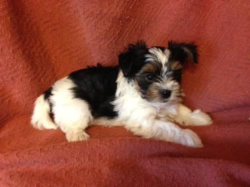 yorkie puppies for sale in mn sweet and tiny biewer yorkshire terrier yorkies puppies 2877
