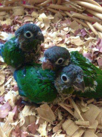 Sweet Baby Green Cheek Conures for Sale in Canyon Lake ... - photo#24