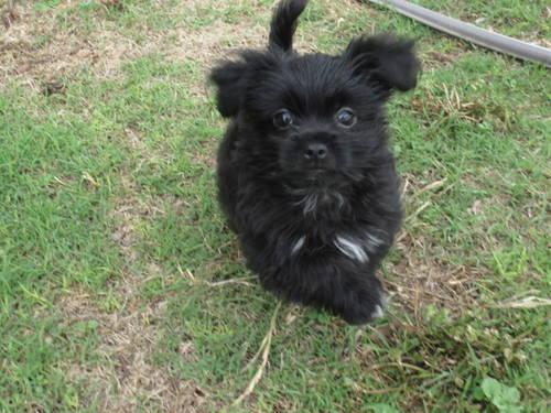 Sweet Black And White Male Shorkie Puppy For Sale In Howe