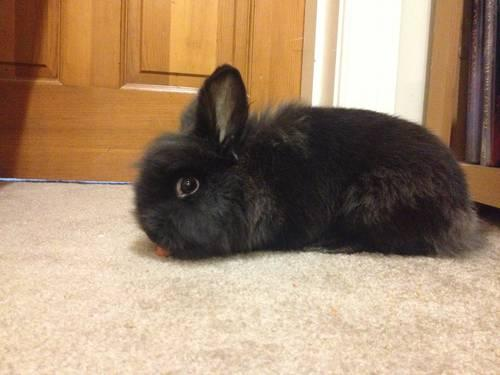 Sweet Blackgrey Lionhead Bunny 1 Years Old Cage