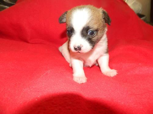 chihuahua puppies for sale in nc sweet chihuahua with 1 4 maltese puppy for sale in high 820
