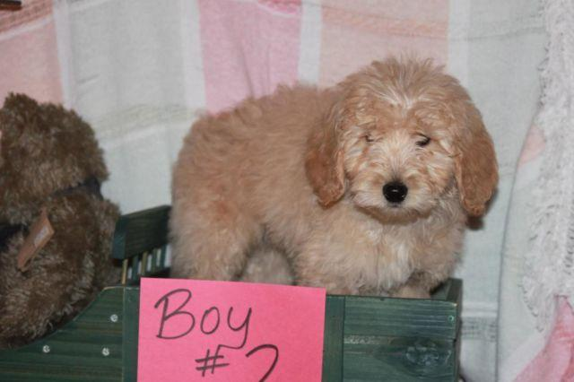 Sweet F1B Goldendoodle Boy ! !
