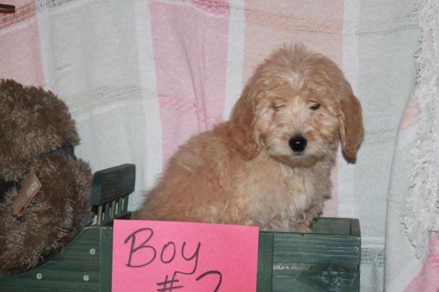 Sweet F1b Goldendoodle Puppies ! 1 boy & 1 girl !