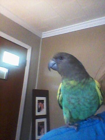 SWEET hand fed Meyers Parrot DNA male