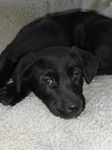 Lab Mix Puppy Pets And Animals For Sale In Washington Puppy And