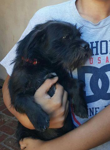 Sweet Lhasa Apso Chihuahua mix young male dog