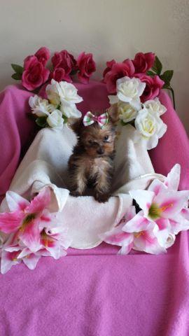 Sweet Little Cute Golden Female Yorkie Puppy For Sale In Bakersfield