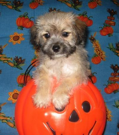 yorkie mixed puppies for sale mn sweet little morkie poo puppies morkie poodle cuties for 5798