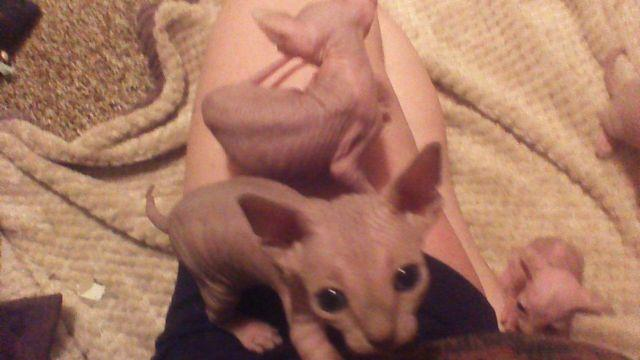 sweet little sphynx kittens (So much beauty and So much
