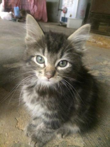 Sweet Long Haired Male Tabby Kitten For Adoption 8 Weeks Carlos For Sale In Manhasset New