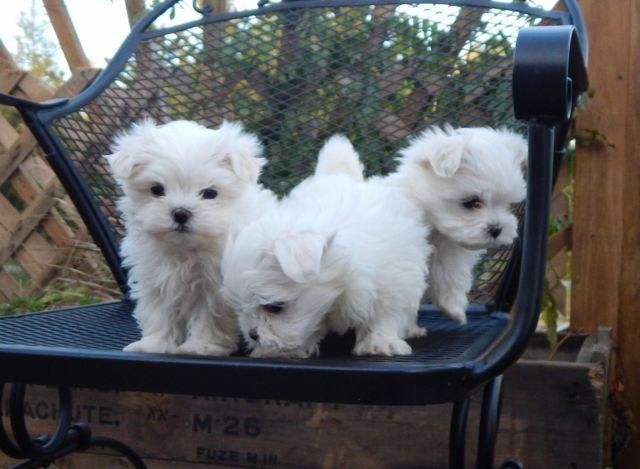 maltese puppy for sale in ny sweet maltese puppies for sale in dundee new york 4320