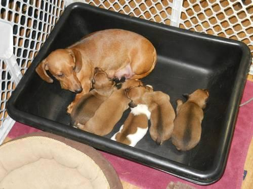 Miniature dachshunds for sale in missouri