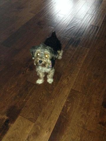 Sweet Morkie - For Sale (food, toys, cage, puppy bed included)