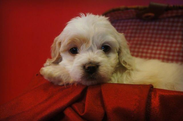 Sweet Parti Cockapoo Puppies! for Sale in Seattle ...