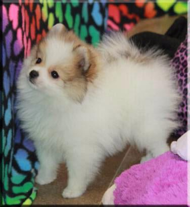 pomeranian breeders ny sweet pomeranian puppy for adoption for sale in albany 3239