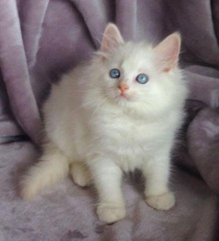 Sweet ragdoll kittens flame seal blue mitted bicolor and minks