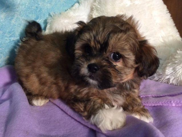 Sweet Shih Tzu Poodle Mix Puppies For Sale In Barren Illinois