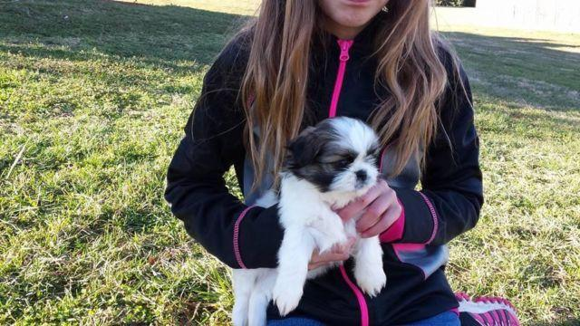 Sweet Shih Tzu Puppies For Adoption 2girls 1boy For Sale In