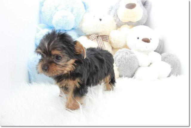 Sweet Teacup Yorkie Puppy Pie For Sale In Los Angeles California