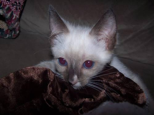 ragamese kittens littlestown pa
