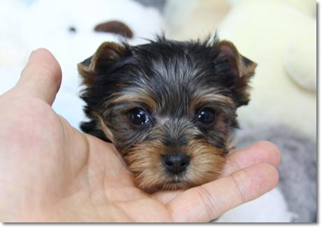 Sweetest Teacup Yorkie O Malley For Sale In Los Angeles California
