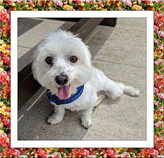 Sweetie and Charlie - STX Bichon Frise Adult Female