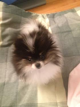 T Cups Tri Color And Black Pomeranian Puppies Akc Wgifts For Sale