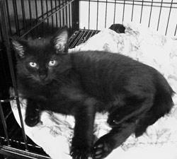 Tabby - Black - Willow - Medium - Baby - Female - Cat