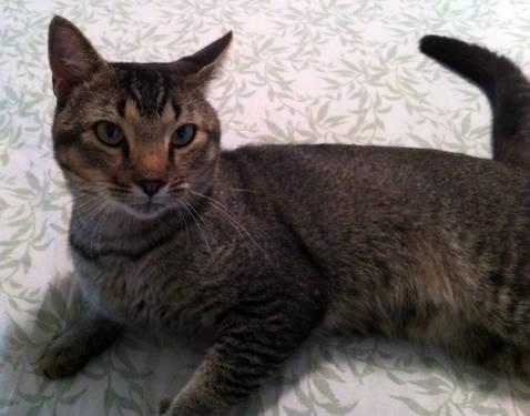 Tabby - Brown - Barney - Medium - Young - Male - Cat