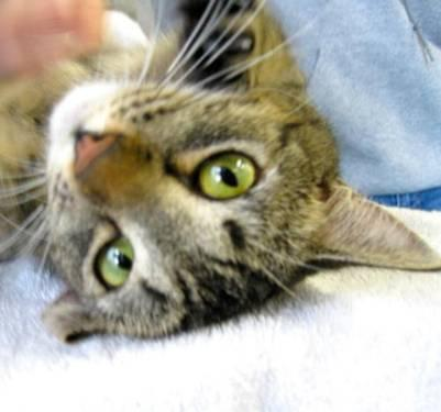 Tabby - Brown - Letty - Medium - Young - Female - Cat