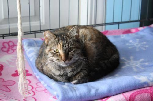 Tabby - Brown - Primrose - Small - Young - Female - Cat