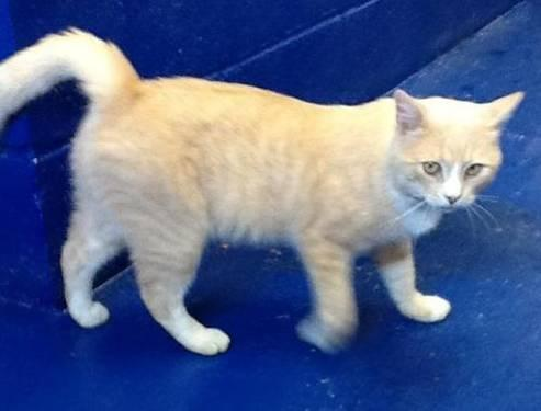 tabby  buff  cow  yellow tabby  large  adult  male
