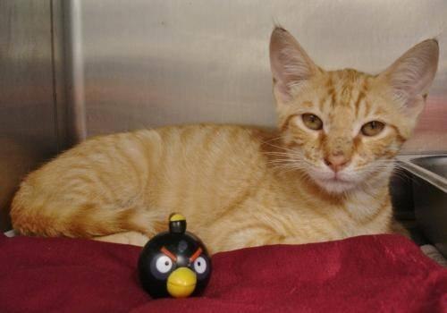 Tabby - Cici - Medium - Baby - Male - Cat
