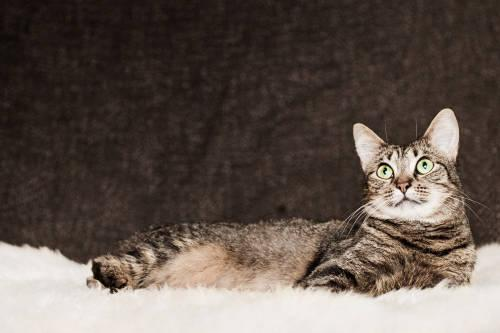 Tabby - Claire - Small - Adult - Female - Cat