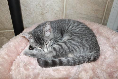 Tabby - Grey - Gabe - Medium - Baby - Male - Cat