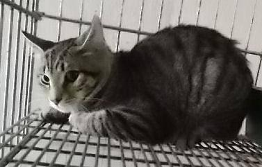 Tabby - Grey - Kitty (urgent) - Medium - Young - Female