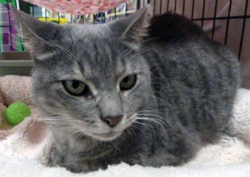 Tabby - Grey - Peggy - Large - Adult - Female - Cat