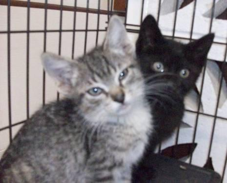 Tabby - Grey - Ted And Powder - Medium - Baby - Male -