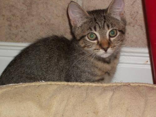 Tabby - Grey - Willow - Medium - Baby - Female - Cat