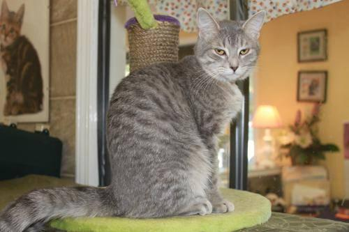 Tabby - Grey - Zenith - Small - Young - Female - Cat