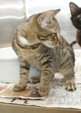 Tabby - Hatfield - Medium - Baby - Male - Cat