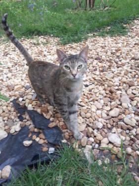 Tabby - Krista - Medium - Adult - Female - Cat