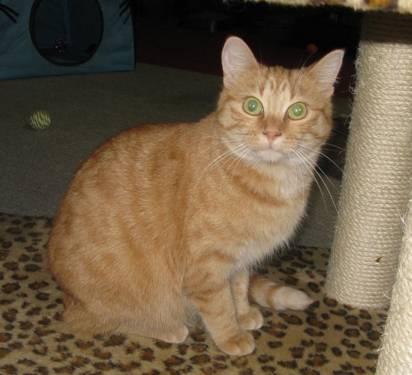 bengal cat care info