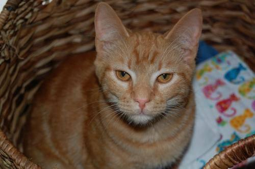Tabby - Orange - Dooley - Medium - Young - Male - Cat