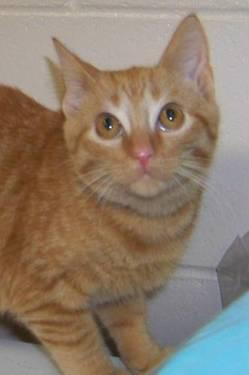 Tabby - Orange - Mario - Medium - Young - Male - Cat