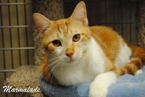 Fat orange tabby cat for sale