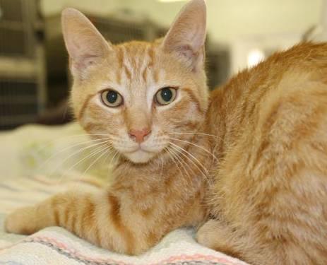 Orange tabby kittens for sale phoenix az