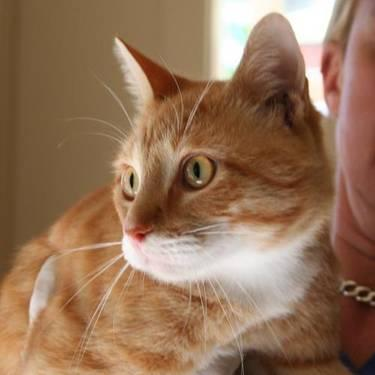 Tabby Orange Spike Medium Young Male Cat For